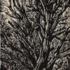 Pinyon Pine, woodcut