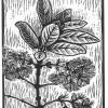 Pygmy Fringe Tree